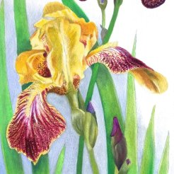 Gold & Purple Irises- 30 x 13